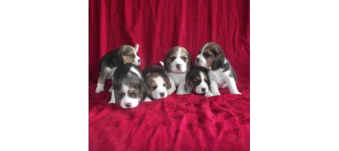 Canisa vand catei Beagle cu pedigree !