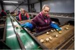 Angajam muncitori la flori in Olanda